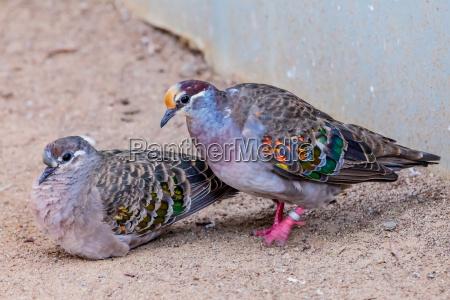 pajaro paloma common bronzewing