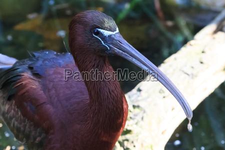 animal pajaro glossy ibis