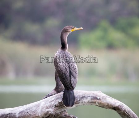 cormoran de doble cresta phalacrocorax