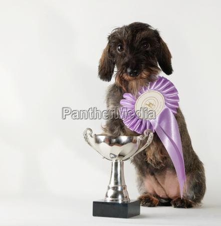dog wearing best in breed ribbon