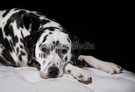 adult male dalmatian portrait