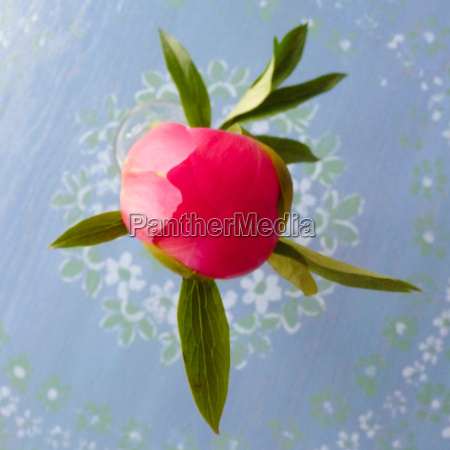 closed peony blossom