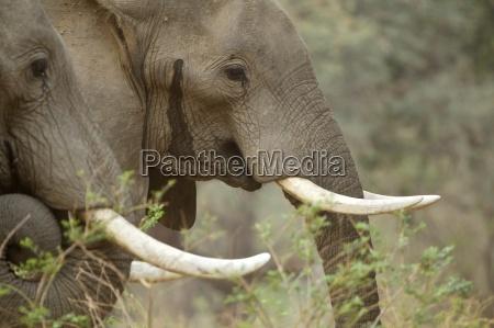 elefantes africanos loxodonta africana dos toros