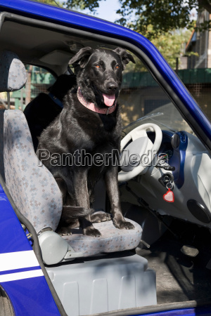 dog panting on seat of electric