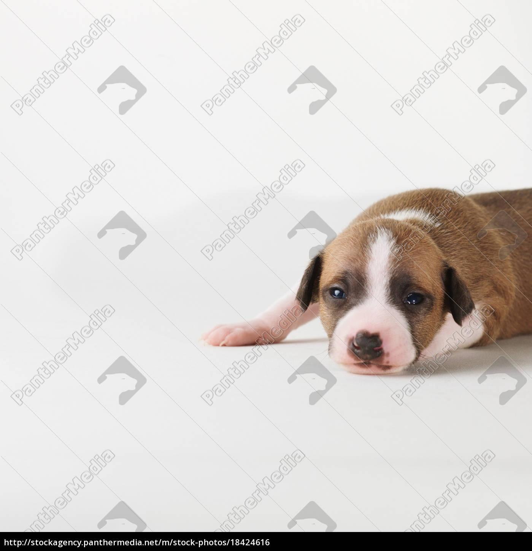 perro, acostado, sobre, fondo, blanco - 18424616
