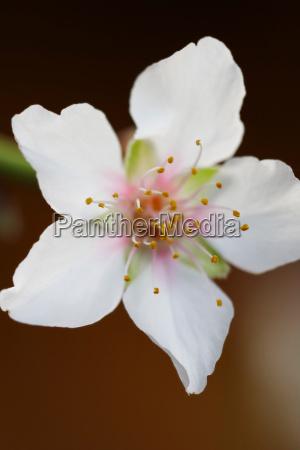 almond blossom close up