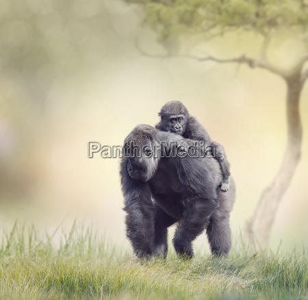 gorilla female con su bebe
