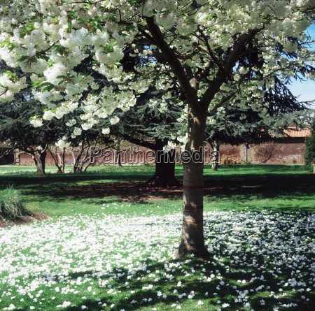 white blossom on a tree