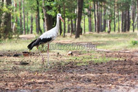 stork en el bosque