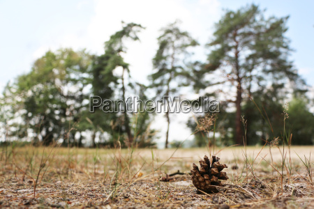 pino de arena de semilla