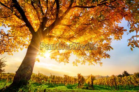 beautiful tree on vineyard in the