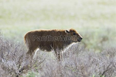 bison calf bison bison yellowstone national