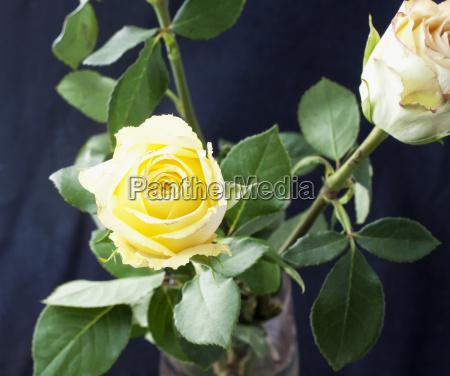 white rose in a vase black