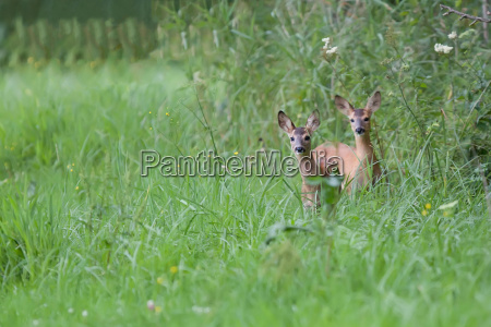 young roe deers in a clearing