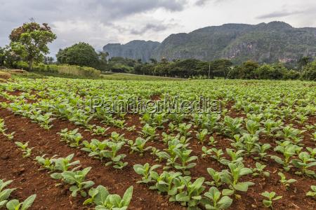 agricola agricultura de plantas utiles campo