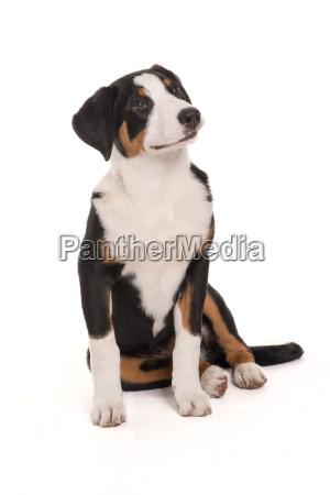 appenzeller sennenhund makes a seat