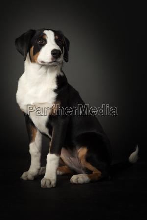 appenzeller sennenhund makes seat on black
