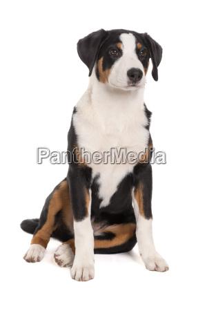 appenzeller sennenhund is sitting