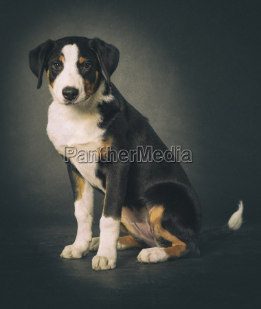 appenzeller sennenhund on black background