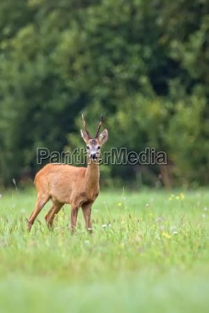 buck deer in a clearing