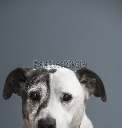 portrait of pit bull and great
