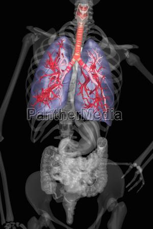 anatomia humana interna y sistemas de