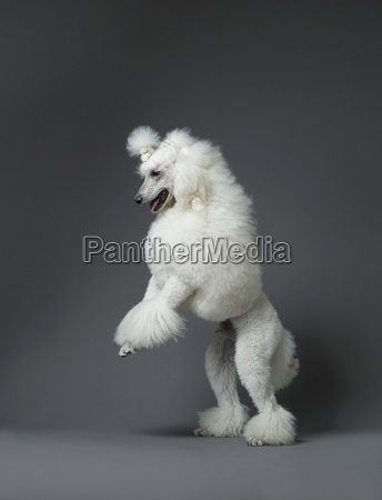 white poodle standing on hind leg