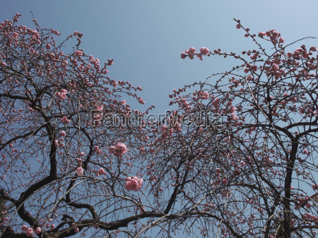 pink cherry blossom against blue sky