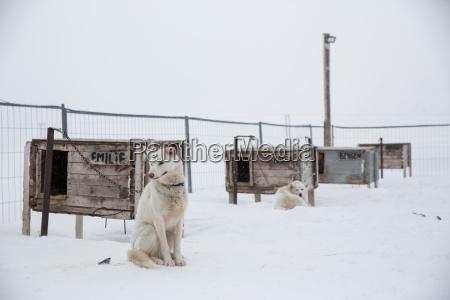 husky dog sitting in enclosure svalbard
