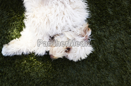 white shaggy dog lying on green