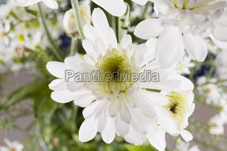 white daisy in close up