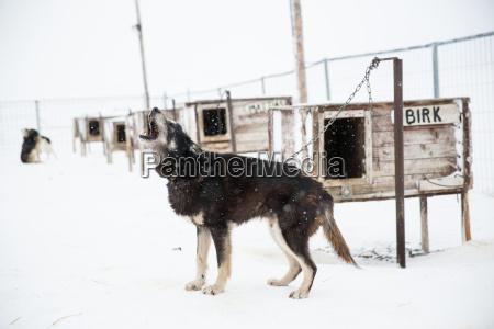 husky dog howling in enclosure svalbard