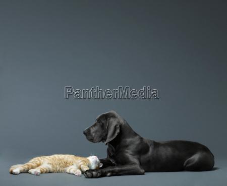 cat and big dog lying together