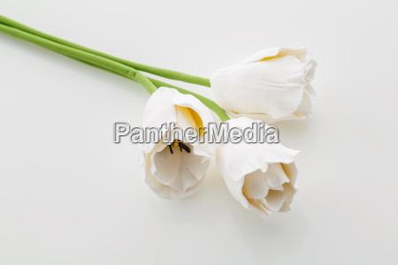 flores blancas hermosas del tulipan