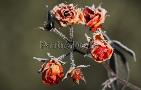 invierno frio flores rosas escarcha descolorido