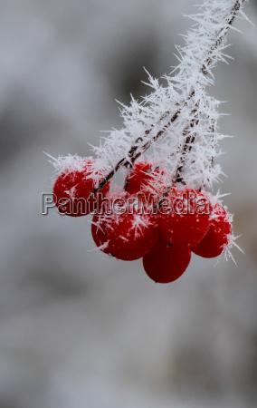 invierno frio hielo escarcha congelado bayas