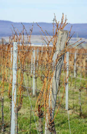 vine in the vineyard in winter