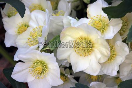flores de la rosa de nieve