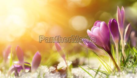 crocus flores en la nieve dan