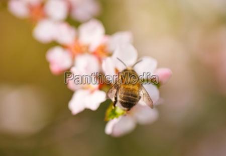 rama floreciente con flor de cerezo