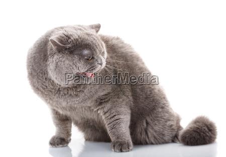 retrato, gris, gato, malvado, británico, directamente - 20512289