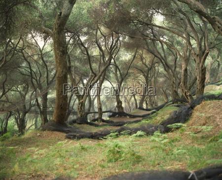 arboledas de olivo en paroa grecia