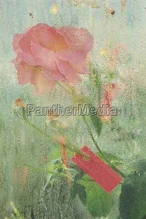 paseo viaje primer plano flor rosa
