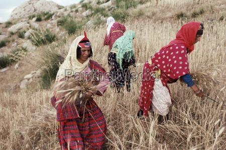 mujeres bereberes cosechando cerca de maktar