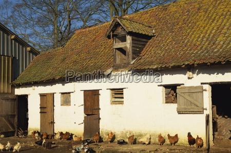 exterior de una granja con pollos
