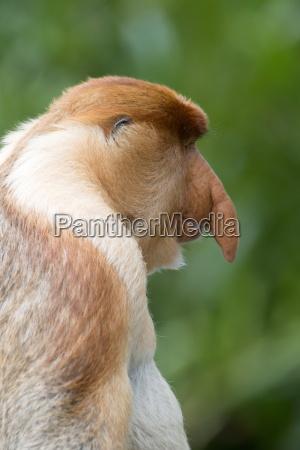 el mono de proboscis macho dominante