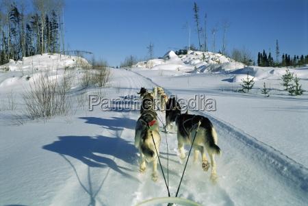 hund hold tegning slaede quebec canada