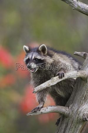 mapache racoon procyon lotor en un