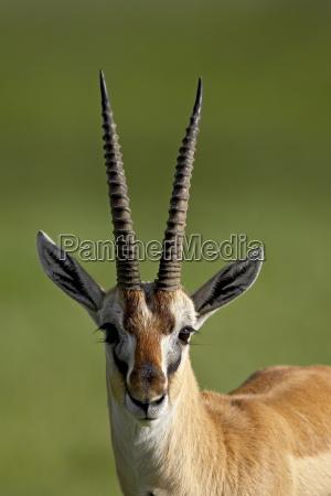 male thomsons gazelle gazella thomsonii ngorongoro