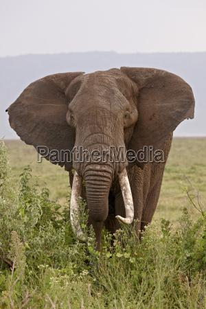 african elephant loxodonta africana with large